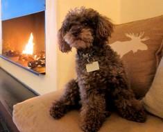 hoteles para poodles