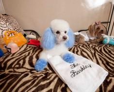 poodle con pelo azul