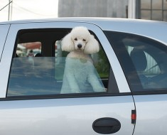 A white poodle staring out the window of a car