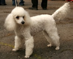 poodle toy con la cola larga