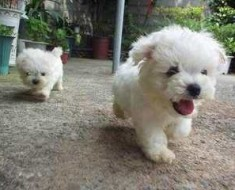 poodle-cute