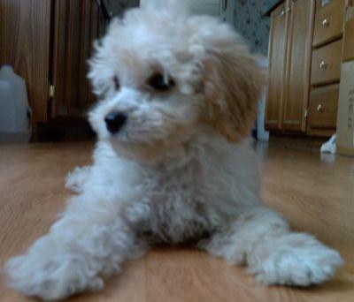 white_poodle_3