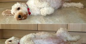 embarazo del poodle