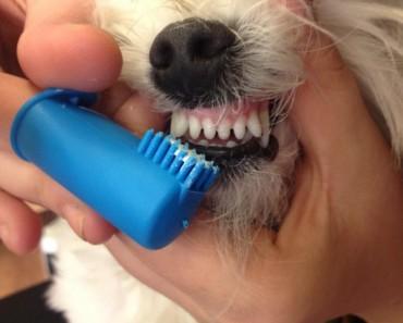 como cepillarle los dientes a un poodle