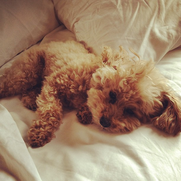 Resultado de imagen para poodle bed