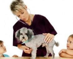 poodle-veterinario