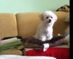 video-poodle-pelota
