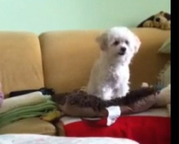 video-poodle-pelota