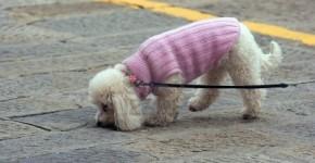 poodle con correa paseando