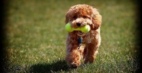 Poodle jugando