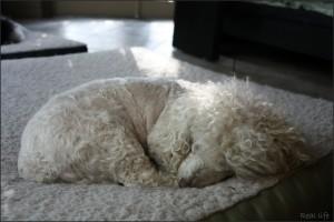 poodle durmiendo