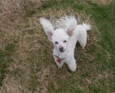 Poodle-Toy-all-small-dogs-15280177-1024-768
