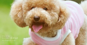 Two cute poodle Coco & Nimo outdoor photo (17)