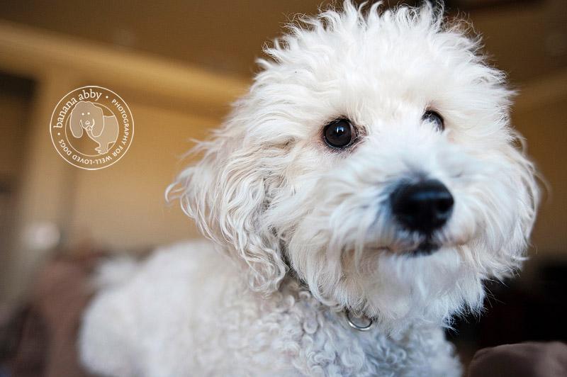 Bichon Frise Puppyjpg | Dog Breeds Picture