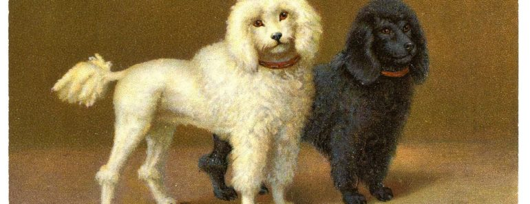 caractersticas-del-poodle-senior