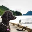 10 cosas que no sabías de los poodles
